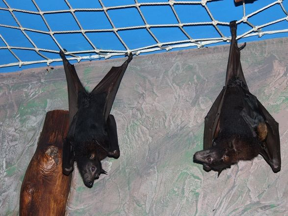 Два летучих мышонка родились в нижегородском зоопарке в канун Хэллоуина  - фото 2