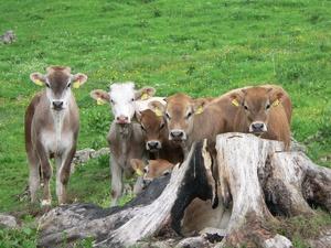 Троих нижегородцев будут судит за кражу шести коров