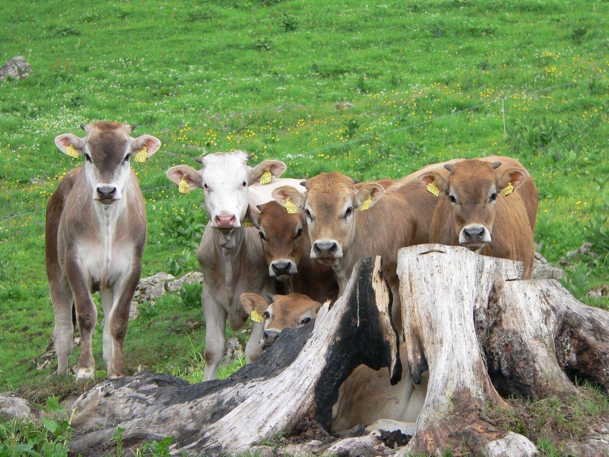 Троих нижегородцев будут судит за кражу шести коров - фото 1