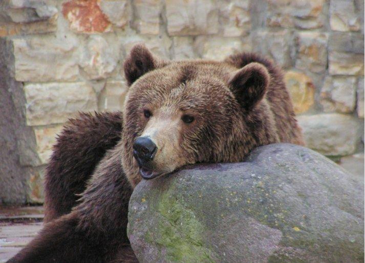 Нижегородские медведи не проснутся из-за теплой зимы - фото 1