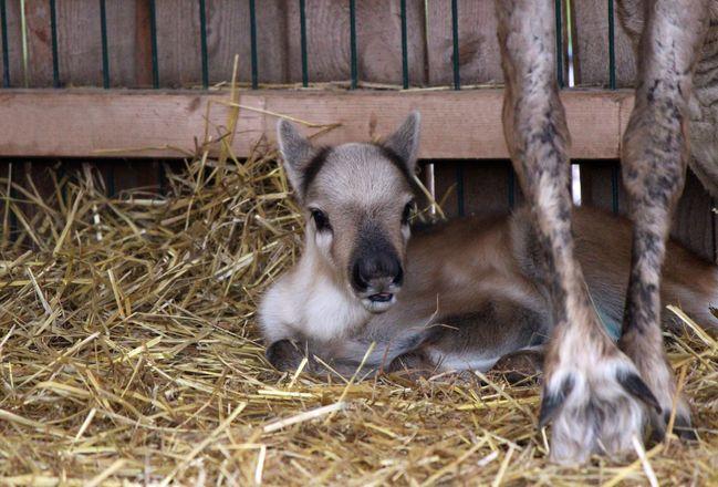 Северный олененок родился в нижегородском зоопарке - фото 3