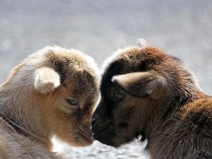 Инь и Янь подрастают в зоопарке «Лимпопо»