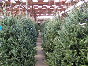 Нижегородцы могут купить двухметровую живую елку за 20 рублей