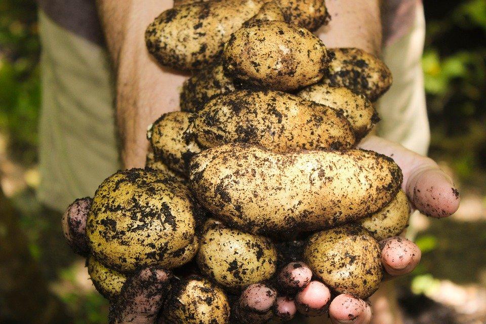 Три признака, по которым можно распознать токсичный картофель - фото 2