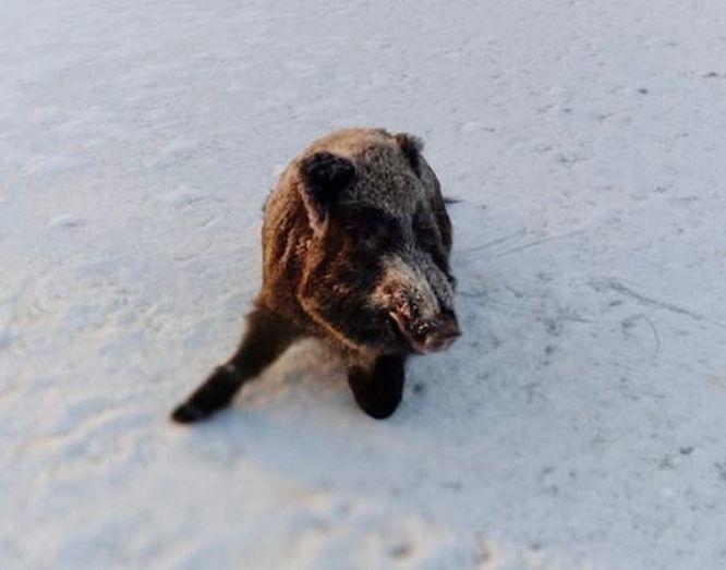 Провалившийся под лед кабан спасен в Шатковском районе - фото 1